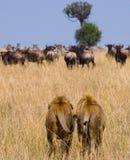 Dos leones masculinos grandes en la caza Parque nacional kenia tanzania Masai Mara serengeti Foto de archivo libre de regalías