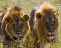 Dos leones masculinos grandes en la caza Parque nacional kenia tanzania Masai Mara serengeti Fotos de archivo