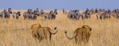 Dos leones masculinos grandes en la caza Parque nacional kenia tanzania Masai Mara serengeti Imagen de archivo libre de regalías