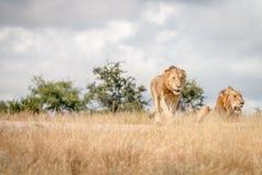 Dos leones masculinos jovenes en el camino fotos de archivo libres de regalías