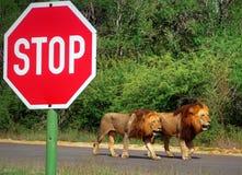 Dos leones masculinos que caminan el camino del alquitrán al lado de una parada grande firman fotografía de archivo libre de regalías