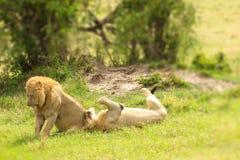 Dos leones masculinos que cazan abajo de un viejo varón del búfalo en el parque nacional de Mara del Masai en Kenia Fotos de archivo
