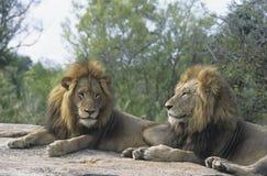 Dos leones masculinos que mienten en roca Foto de archivo libre de regalías