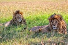 Dos leones que descansan en el masai Mara Fotos de archivo