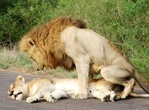Dos leones que se acoplan en África imagenes de archivo