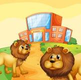 Dos leones salvajes delante de una construcción de escuelas Imagen de archivo libre de regalías