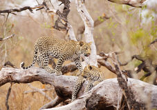Dos leopardos que se colocan en el árbol Fotografía de archivo