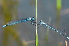 Dos libélulas Imagenes de archivo