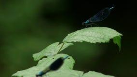 Dos libélulas azules almacen de metraje de vídeo