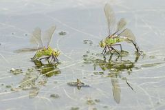 Dos libélulas del emperador en el agua Fotos de archivo libres de regalías
