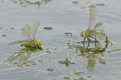 Dos libélulas del emperador en el agua Fotografía de archivo