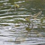 Dos libélulas del emperador en el lago del canotaje en el campo común de Southampton Imagenes de archivo