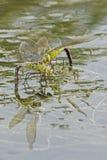 Dos libélulas del emperador en el lago del canotaje en el campo común de Southampton Fotos de archivo libres de regalías
