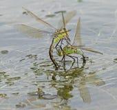 Dos libélulas del emperador que luchan en el lago del canotaje en el campo común de Southampton Fotografía de archivo libre de regalías