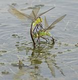 Dos libélulas del emperador que luchan en el lago del canotaje en el campo común de Southampton Imagen de archivo