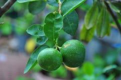 Dos limones Imagen de archivo