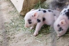 Dos lindos y bebé cochinillos viejos de un de la semana borrosa Imagenes de archivo