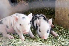 Dos lindos y bebé cochinillos viejos de un de la semana borrosa Foto de archivo