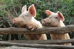 Dos lindos y cerdos curiosos Foto de archivo