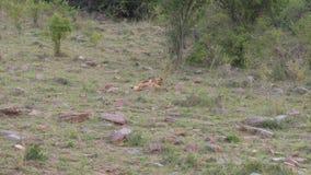 Dos Lion Cubs Play With Each otro, mordiendo y luchando, sabana africana, 4K almacen de metraje de vídeo