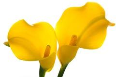 Dos lirios amarillos de la llamada Imagen de archivo libre de regalías