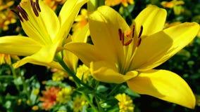 Dos lirios amarillos grandes en jardín Imagenes de archivo