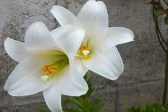 Dos lirios blancos brillantes contra Gray Garden Wall Imagen de archivo libre de regalías
