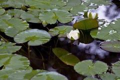 Dos lirios blancos en una charca entre las hojas verdes Foto de archivo libre de regalías