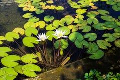 Dos lirios de agua blanca rodeados por verde redondo se van en la charca fotos de archivo