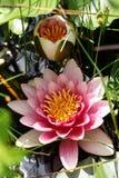 Dos lirios de agua color de rosa Imagenes de archivo