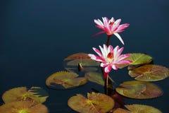 Dos lirios de agua rosados Foto de archivo libre de regalías