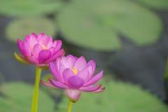 Dos lirios de agua rosados imagenes de archivo