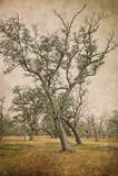 Dos Live Oak Trees meridional que se inclina fotografía de archivo