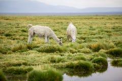 Dos llamas en el Altiplano que comen la hierba imagenes de archivo