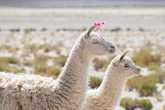 Dos llamas en la montaña andina en Bolivia Imagen de archivo libre de regalías