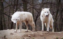 Dos lobos árticos Imagenes de archivo