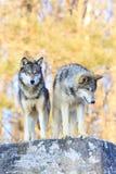 Dos lobos de madera en canto con mirada fija intensa Imagen de archivo