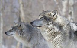 Dos lobos en bosque Fotos de archivo