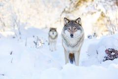 Dos lobos en bosque frío del invierno Fotografía de archivo libre de regalías