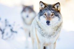 Dos lobos en paisaje frío del invierno Fotos de archivo libres de regalías