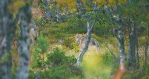 Dos lobos grises grandes en paquete corren a través del bosque en caída metrajes