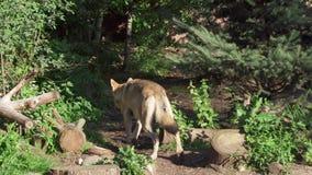Dos lobos grises salvajes que corren en los lobos peludos del lupus de canis del bosque verde que cazan en parque nacional metrajes