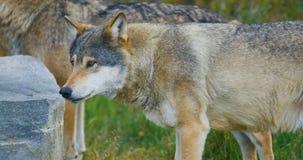 Dos lobos masculinos hermosos grandes en un paquete en el bosque metrajes