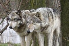 Dos lobos que miran fijamente atento Fotos de archivo libres de regalías