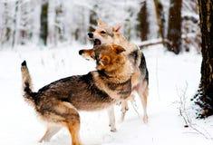 Dos lobos roen en el bosque foto de archivo libre de regalías