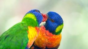 Dos lorikeets del arco iris que intercambian la comida Imagen de archivo libre de regalías