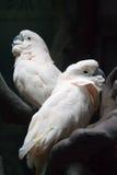 Dos loros blancos Foto de archivo libre de regalías