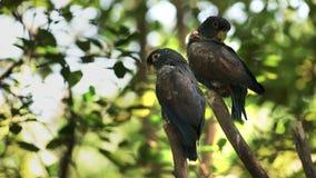 Dos loros bronce-cons alas en un parque en Ecuador metrajes