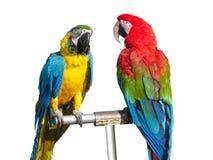 Dos loros coloreados brillantes de los macaws aislados Imágenes de archivo libres de regalías