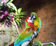 Dos loros coloridos Fotos de archivo